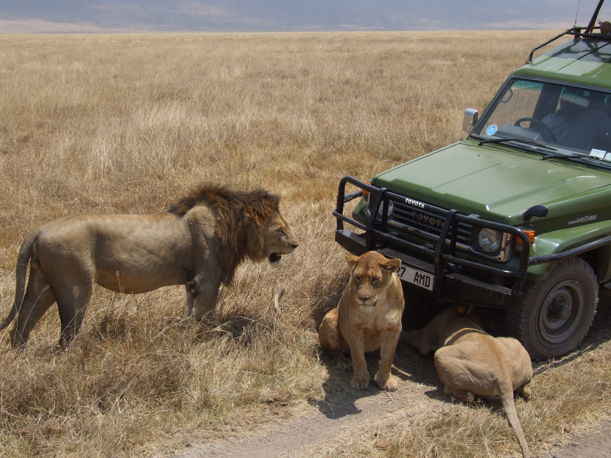 3 lions rest in front of a green jeep on a field of grass